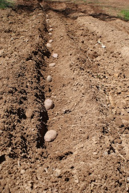 Sown seed potatoes.