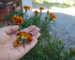 marigold-seeds