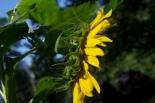 sunflower-proud