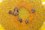 bee-sun-flower-casting