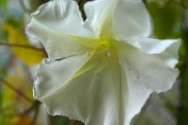 morning-glory-white