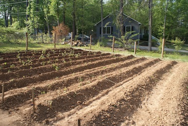 Hilled rows waiting for seed potatoes.  The plants growing in the picture are self-seeded Buckwheat.