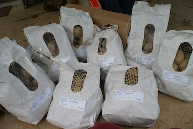 Seed potatoes from Fedco Moose Tubers.
