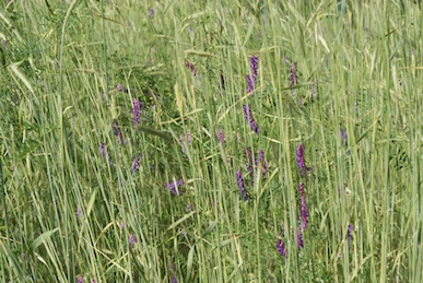 Plant a cover crop of Winter Rye & Hairy Vetch the winter before you plan to grow potatoes in that space.