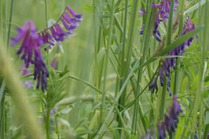 hairy-vetch1